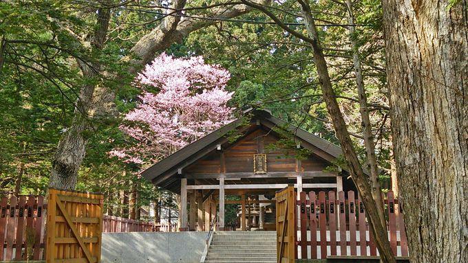 北海道神宮の桜(札幌市)