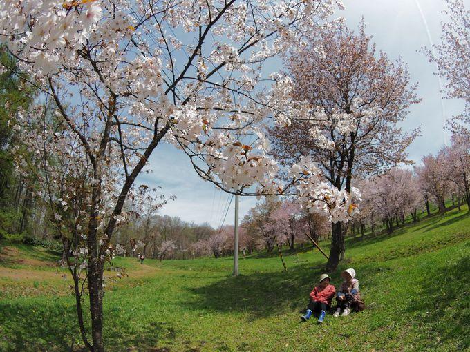 キトウシ森林公園家族旅行村の桜(東川町)