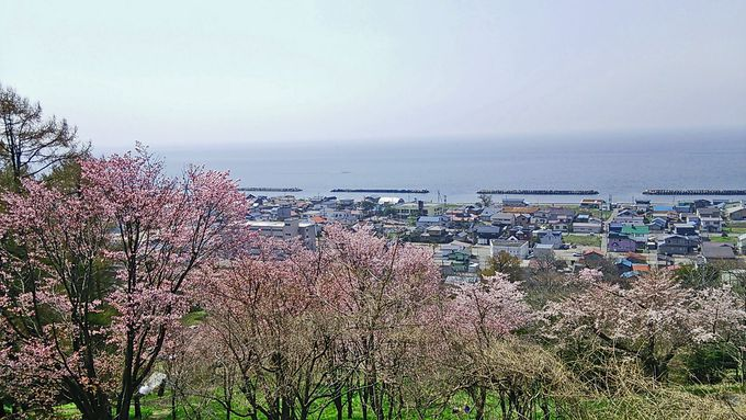 虻田神社の桜(虻田町)