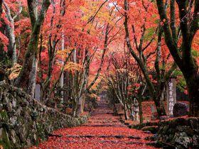 紅葉のレッドカーペット!地元民が教える滋賀・鶏足寺の散策のコツ