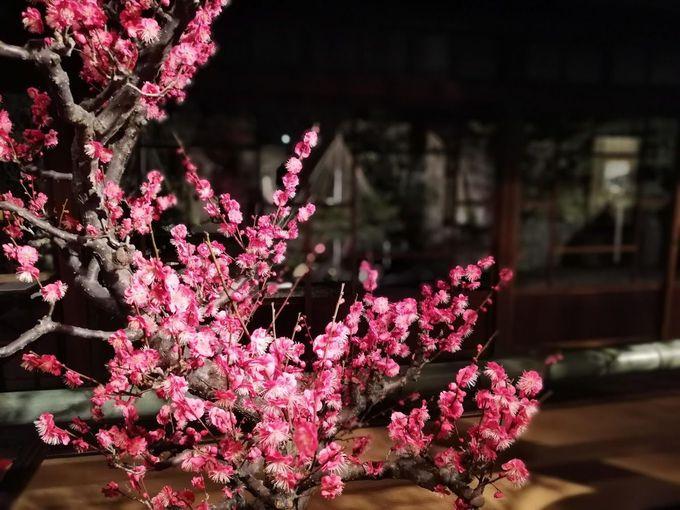 土日祝日限定!夜間ライトアップで艶やかな梅も。