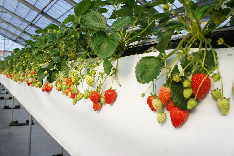 雨の日でも楽しめる!沖縄本島南部で「島イチゴ」を味わおう