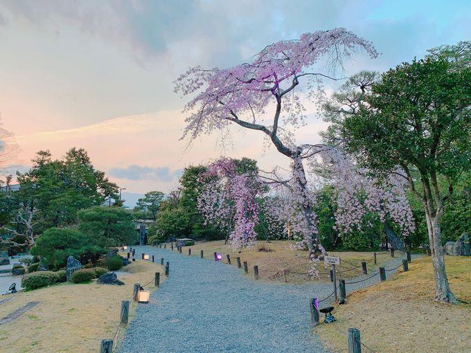 必見!友禅苑の枝垂れ桜ライトアップ