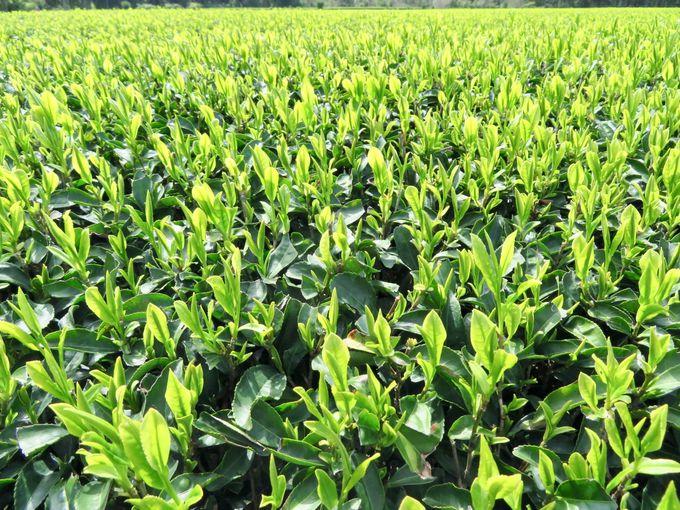 美しい大自然の恵みがいっぱいの茶畑