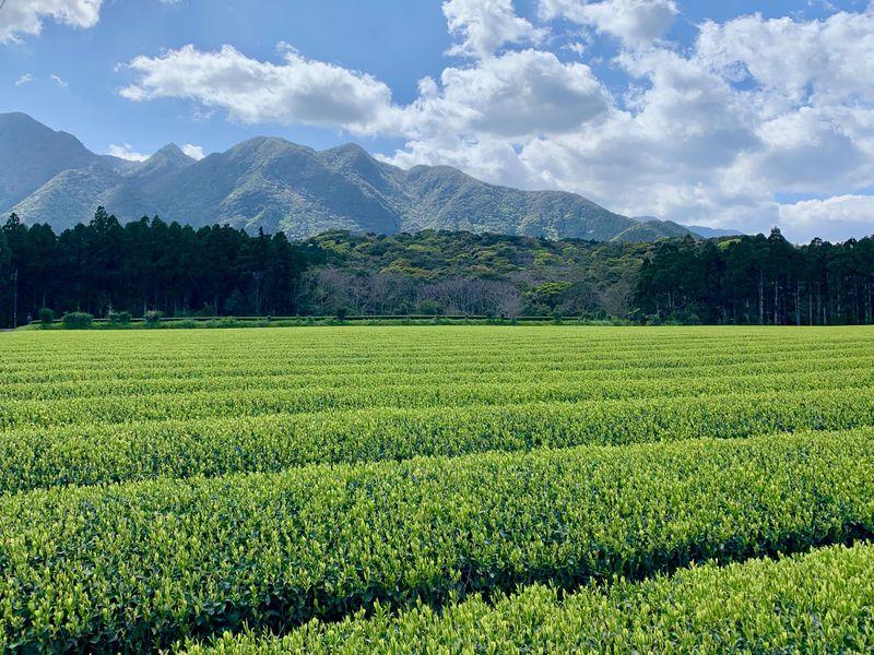 世界遺産で育ったお茶をお土産に「屋久島 八万寿茶園」