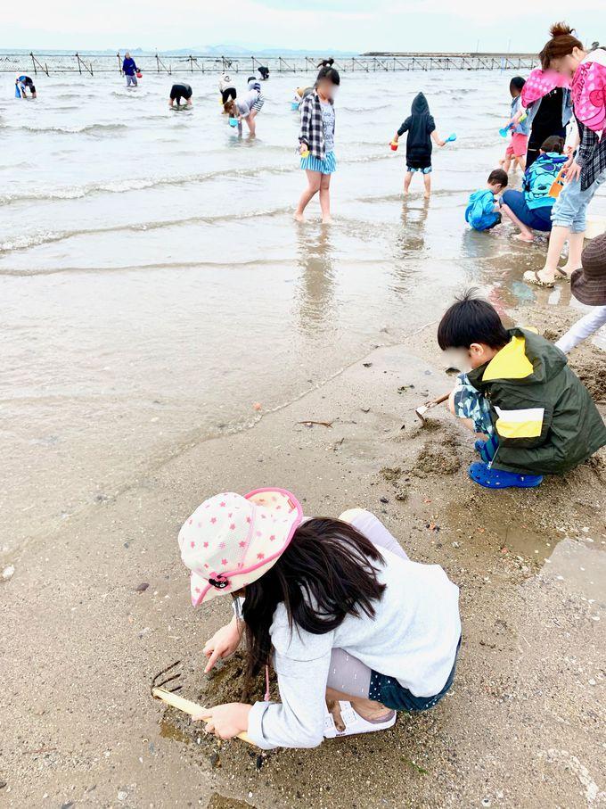 遠浅の海にはあさりがいっぱい!