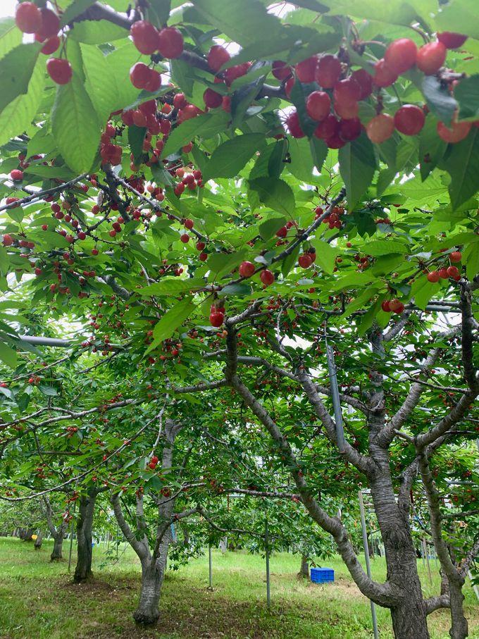 雨の日OK!子どもでも手が届く低樹栽培