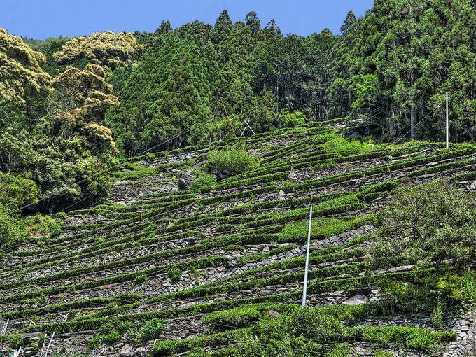 瀬尻の段々茶園 〜 急斜面に築かれた石垣がすごい