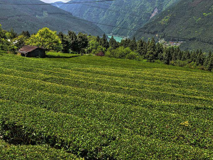 浜松市の龍山茶産地、天竜川を背景に広がる絶景の茶畑