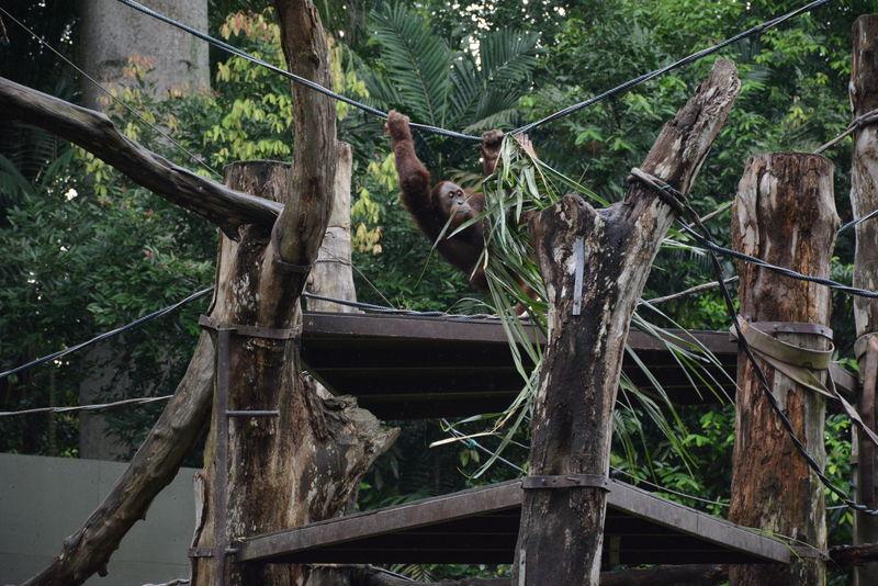 熱帯雨林に300種類の動物たちが遊ぶ!「シンガポール動物園」