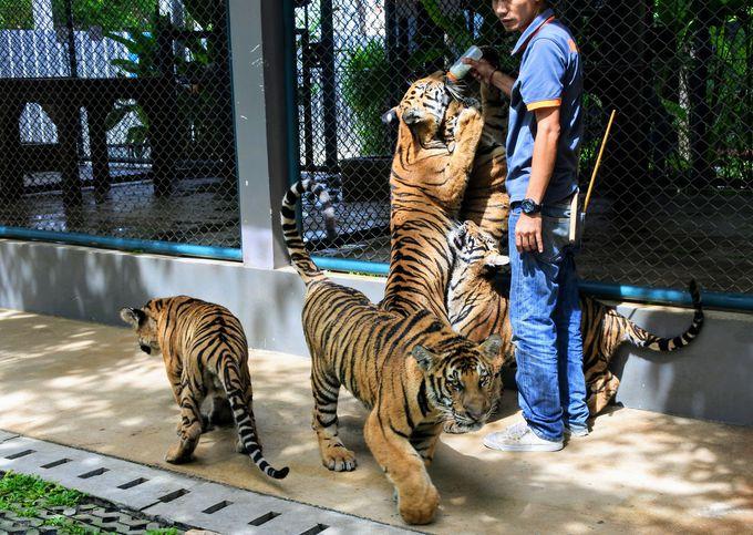 スモール&ミディアムサイズのトラ達