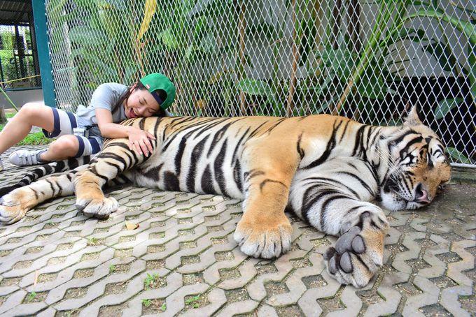 大迫力のビッグタイガーにも触れ合える「タイガーパーク」へ