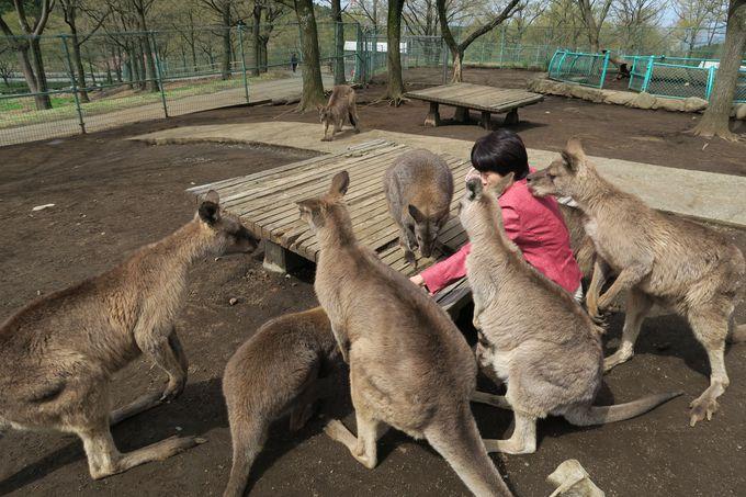 カンガルーやワラビーに癒される!ふれあい動物広場