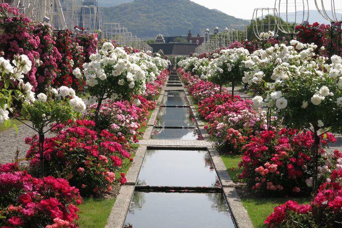 130万本のバラが咲き誇るバラ祭