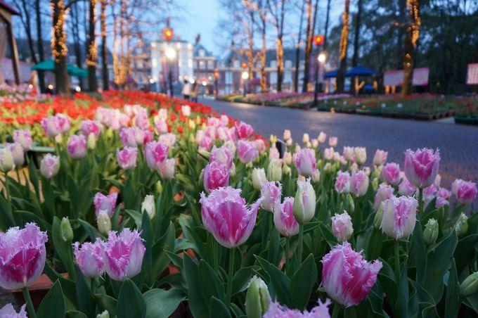 春の訪れを告げるチューリップ祭