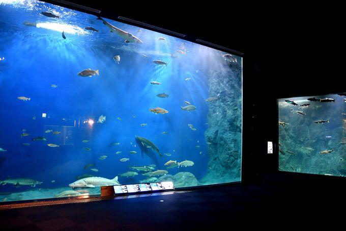 サケの一生がわかる「千歳水族館」、日本初の水中観察室も