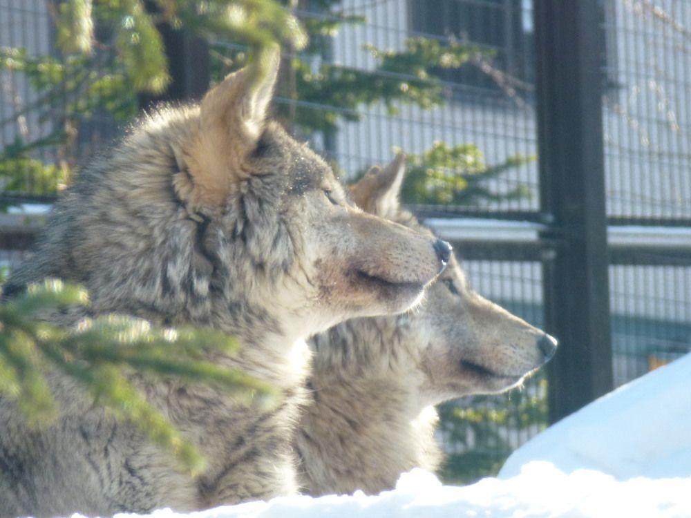 寒さもへっちゃら!暖かい施設から迫力満点のオオカミを観察