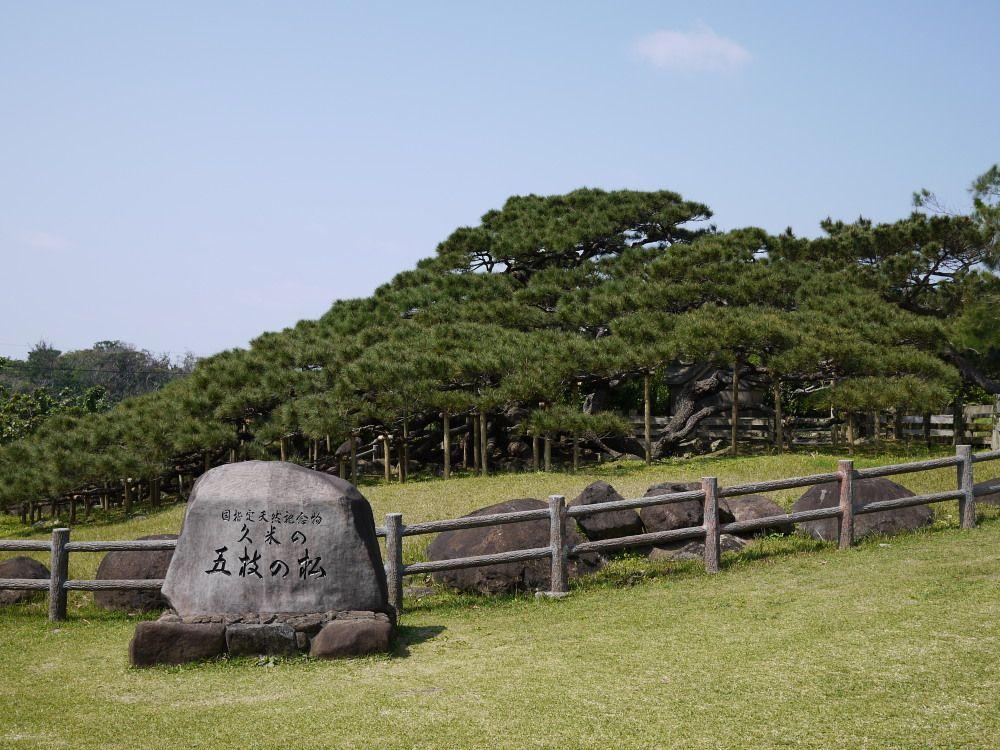 琉球松の巨木「五枝の松」に会いに行こう!