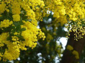 外は雪景色、中は満開のお花畑!ミモザ花咲く札幌市「百合が原公園」