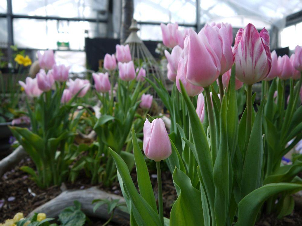 温室で一足早い北国の春を感じませんか?