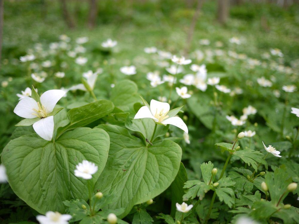 白いお花畑に咲く北海道大学の象徴「オオバナノエンレイソウ」