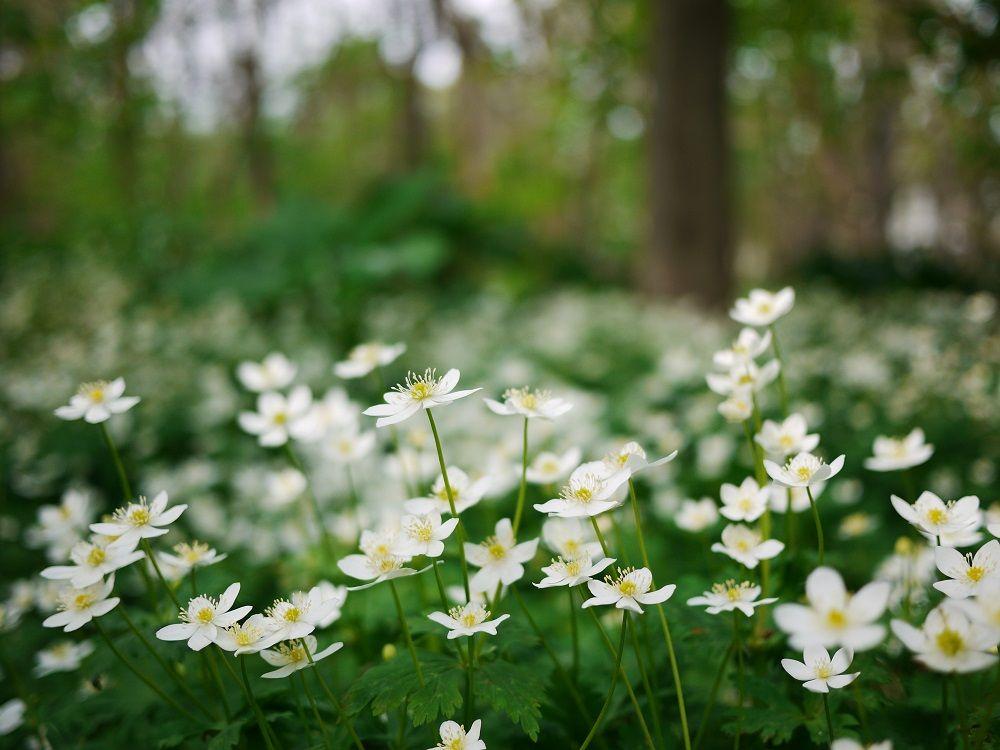 「ニリンソウ」の白い森