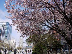 札幌市中心部でお花見をしよう!桜、花咲く春の「大通公園」