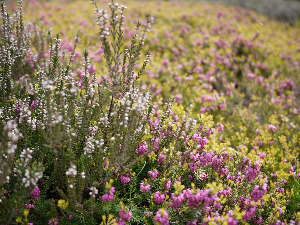 ヒースガーデンでエリカ・カルーナのお花畑を楽しもう!
