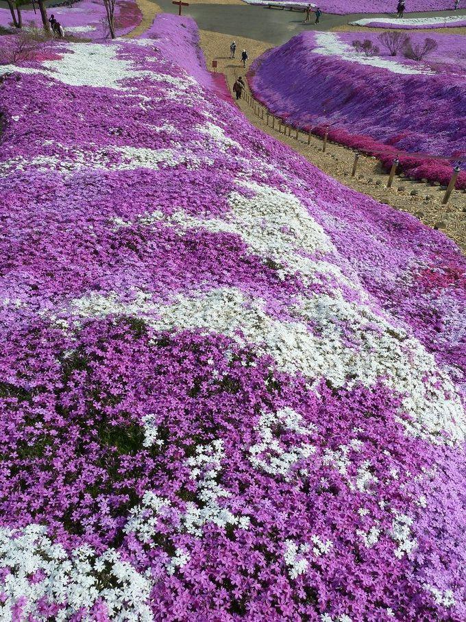 「ひがしもこと芝桜公園」には驚きの歴史が!