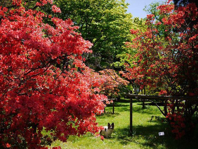 緑の芝生と「ヤマツツジ」の巨木達が美しいお庭