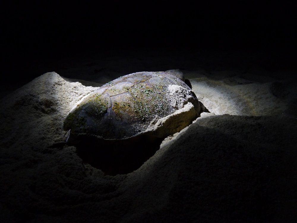 屋久島でウミガメの産卵を間近で見よう!