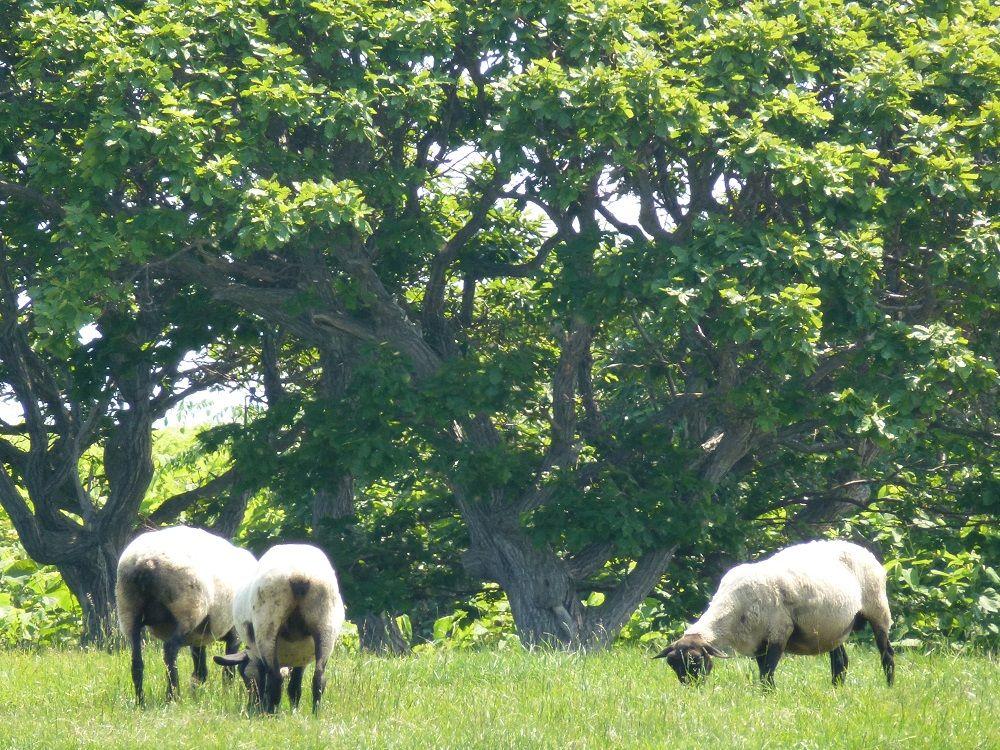 焼尻島の羊は、地元でも滅多に口にできない高級食材