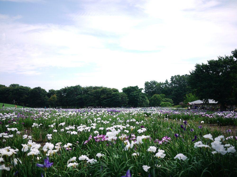 八紘学園「花菖蒲園」は期間限定のお花畑