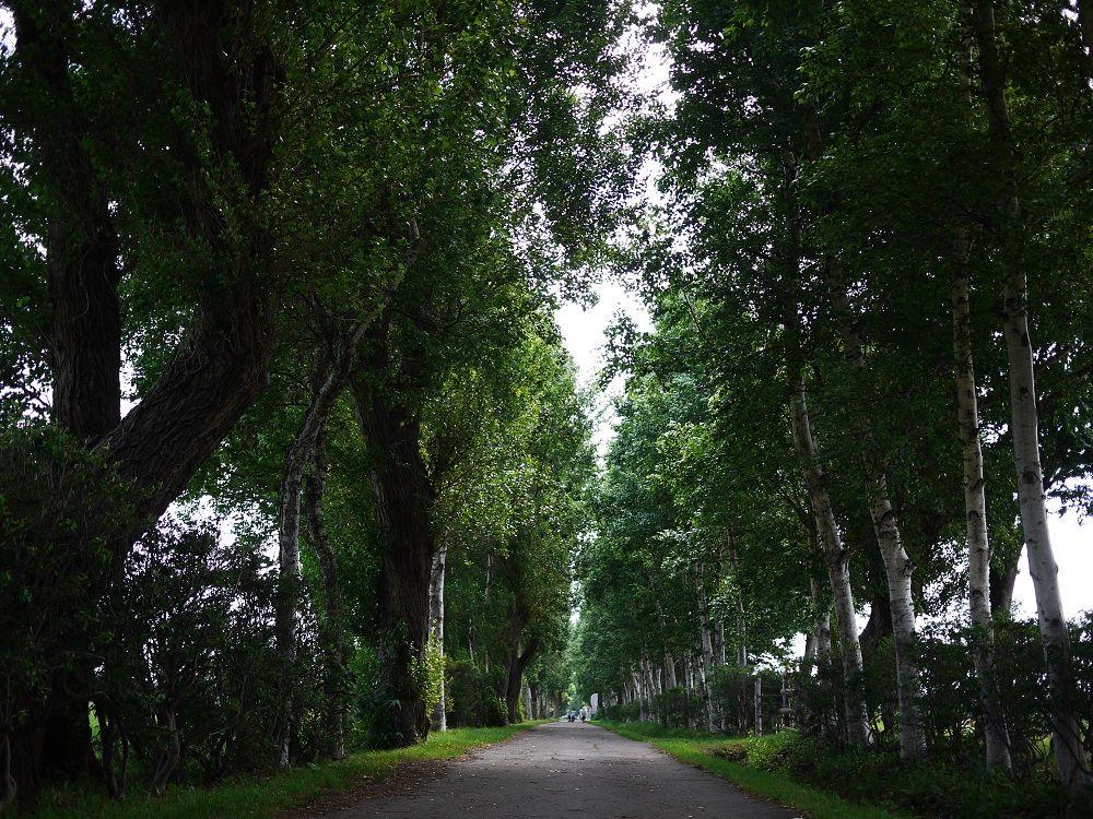 ポプラと白樺の並木道を歩こう!