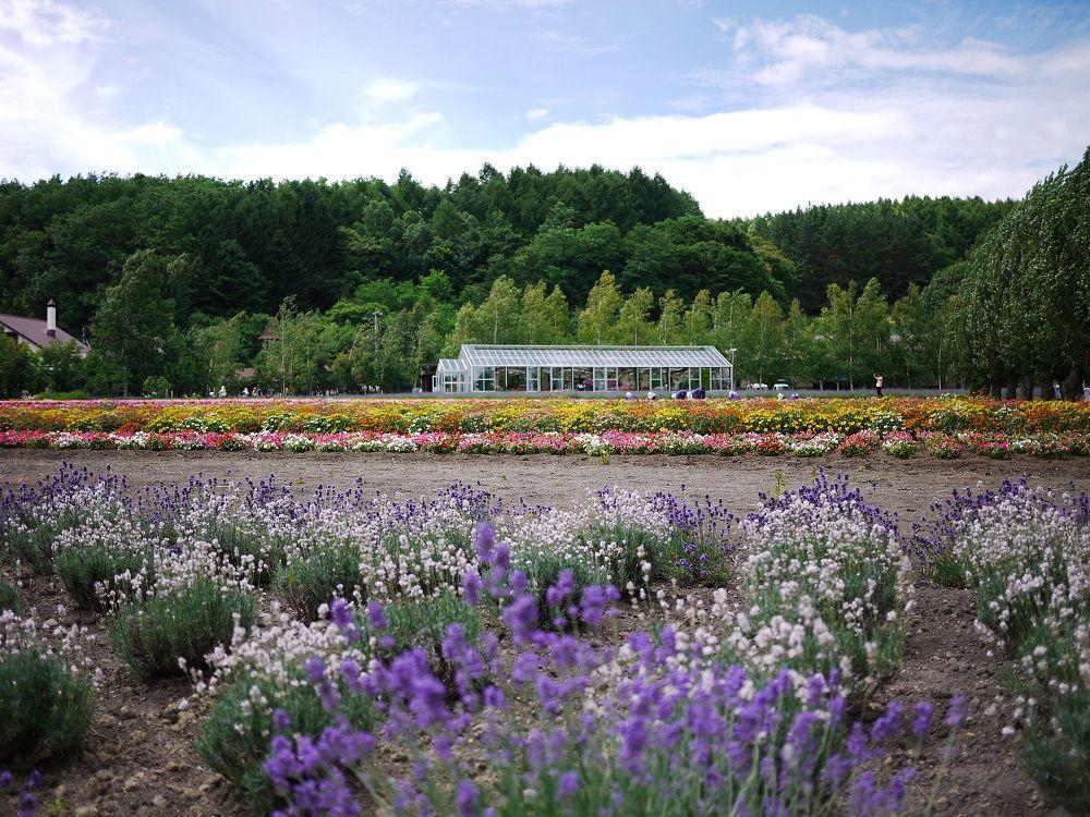 「ファーム富田」に広がる、色とりどりの美しいお花畑達!