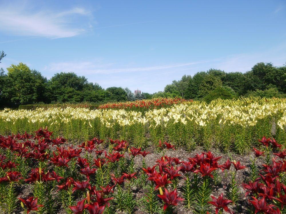 ユリで彩られる「中央花壇」