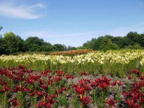 咲き乱れる!世界のユリの花100種類!札幌市「百合が原公園」