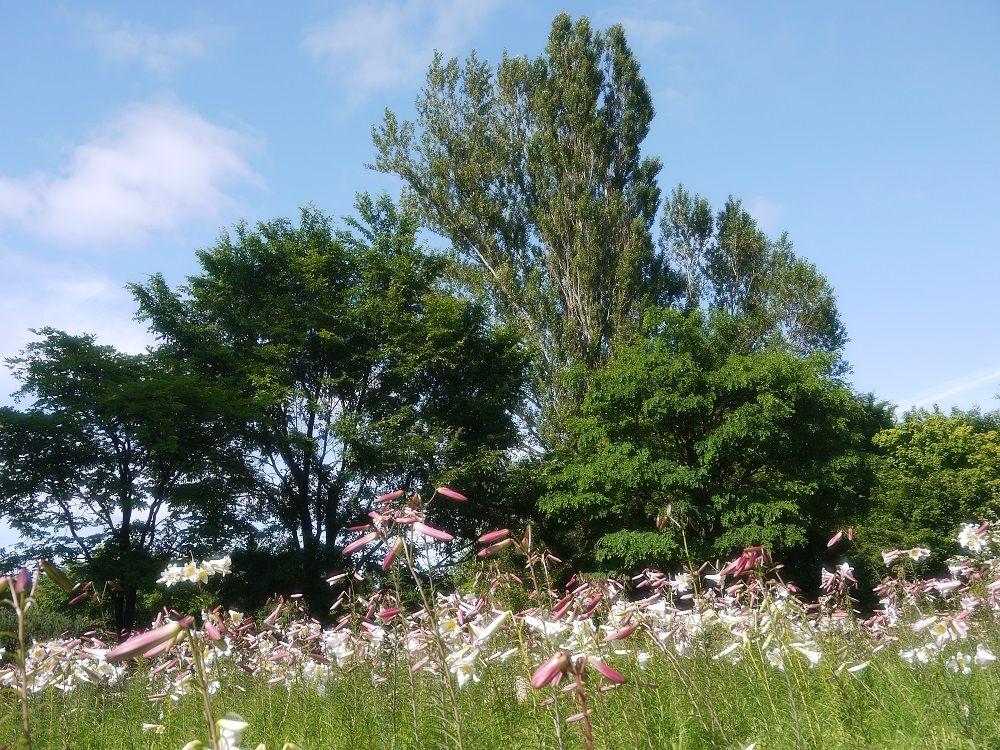 自然の中に15000株のリーガルリリーが咲く風景