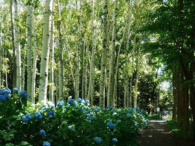 あじさい咲く白樺並木をお散歩しましょ!札幌市「豊平公園」