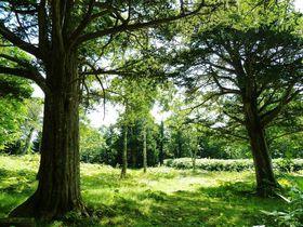 大自然の中に立つ巨木!北海道知床・羅臼「幌萌オンコ公園」