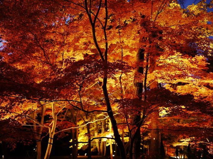 秋夜に輝く幻想的な紅葉!武蔵丘陵森林公園「紅葉見ナイト」(埼玉)
