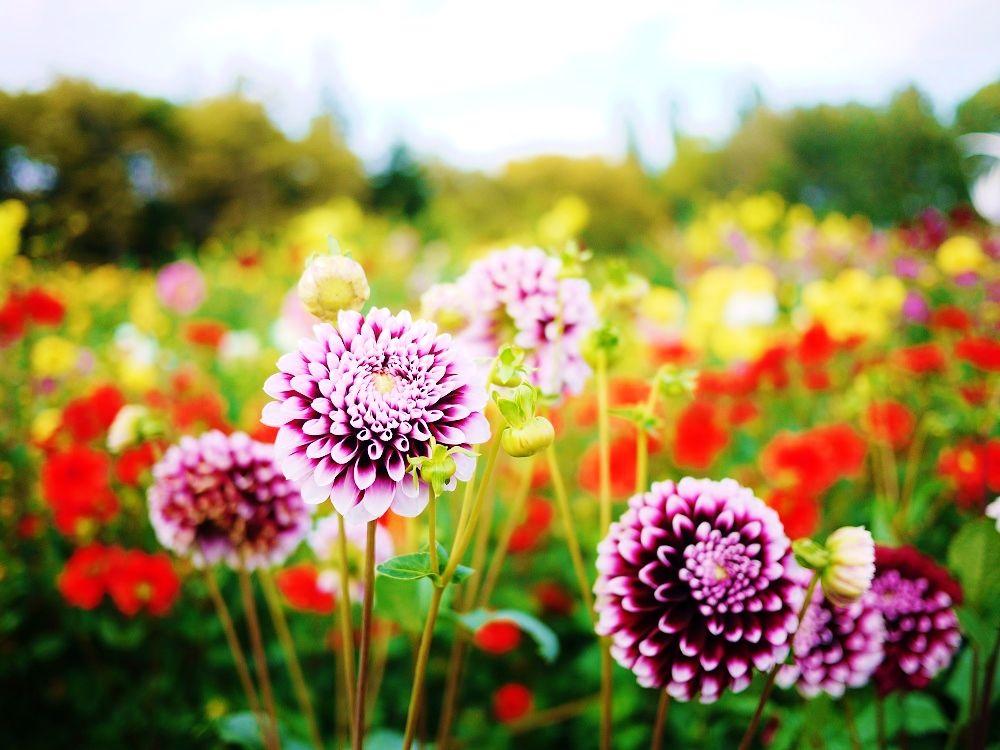 秋のカラフルお花畑☆札幌市「百合が原公園」のダリア園
