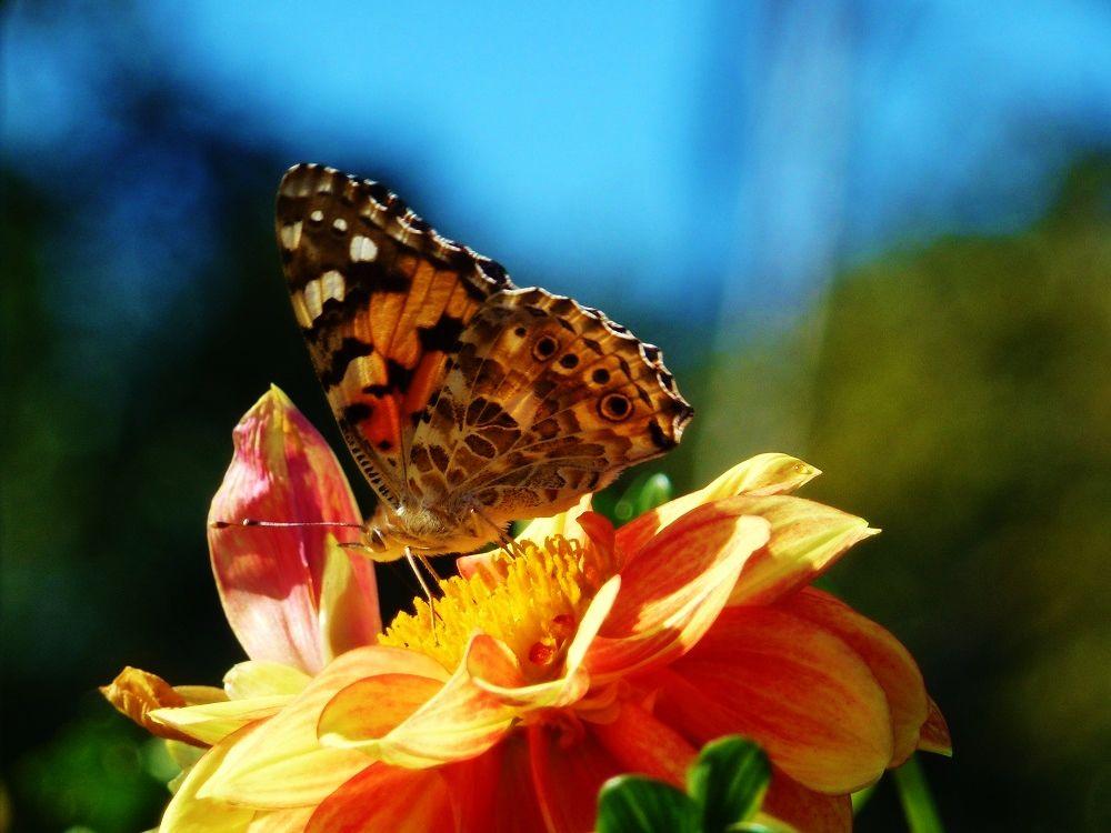 ダリア園では、蝶や蜂もお客様