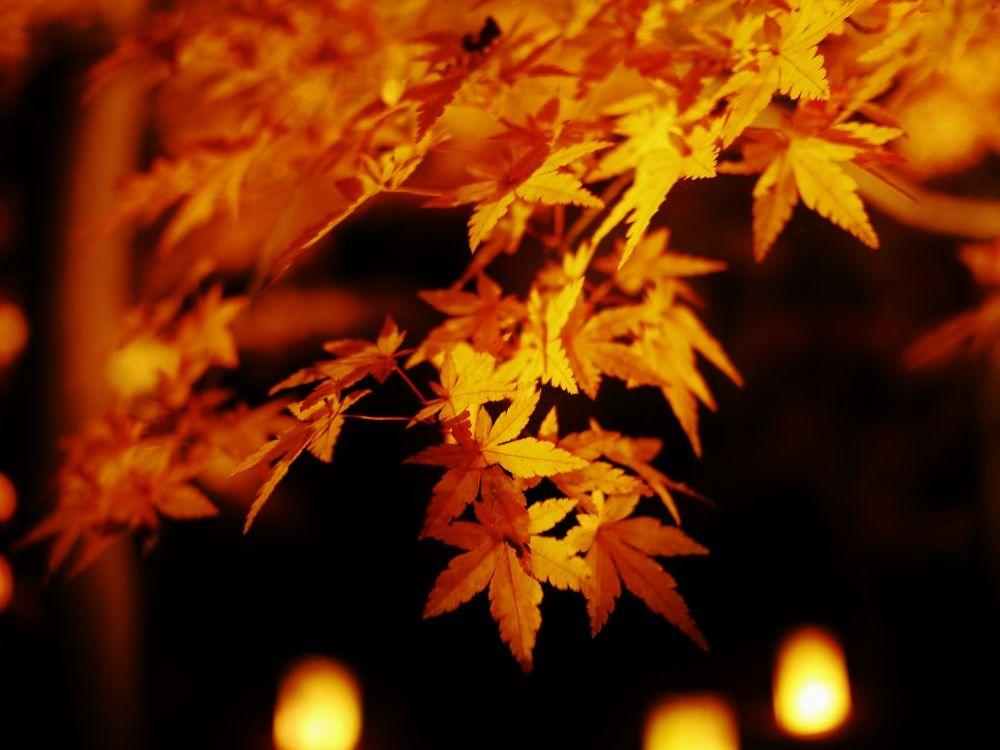 種類で異なるカエデの葉を鑑賞