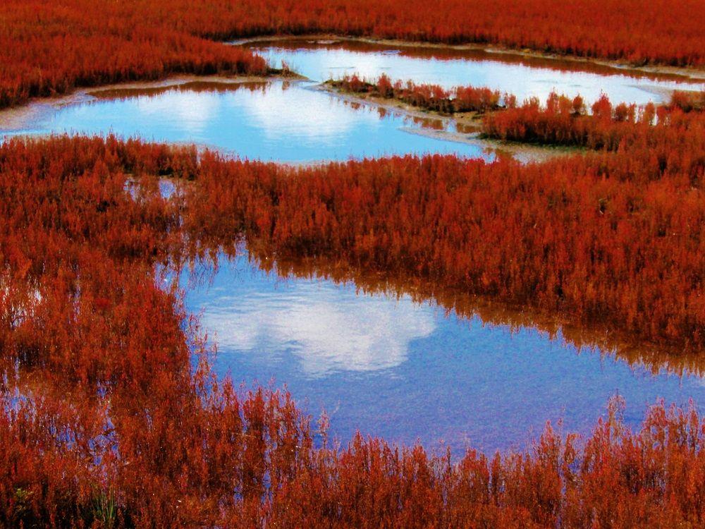 「能取湖」に広がる真っ赤な絨毯!「卯原内サンゴ草群落」