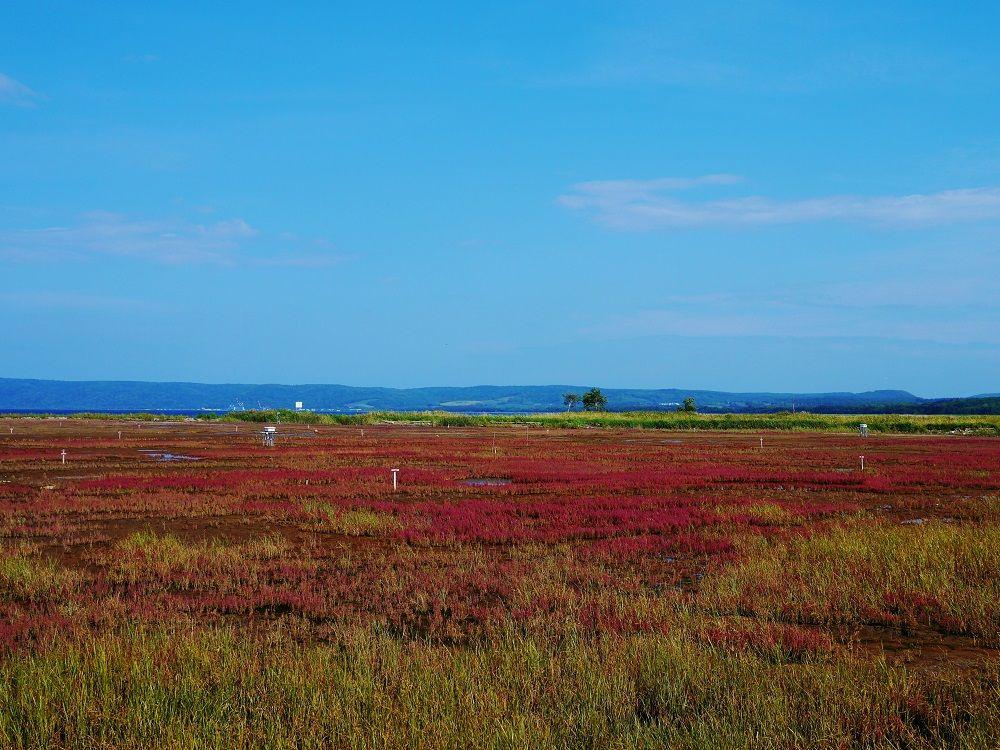 2013年の能取湖卯原内サンゴ草群落の風景