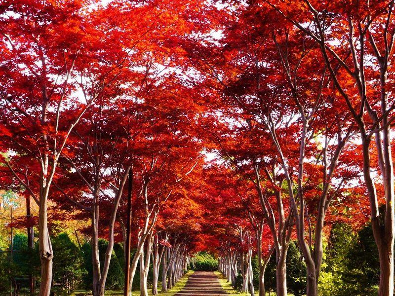 真っ赤な並木道をお散歩♪紅葉の札幌市「平岡樹芸センター」