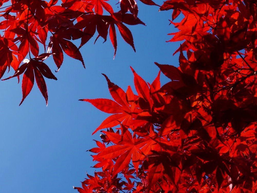 春と秋に紅葉が楽しめるノムラモミジ