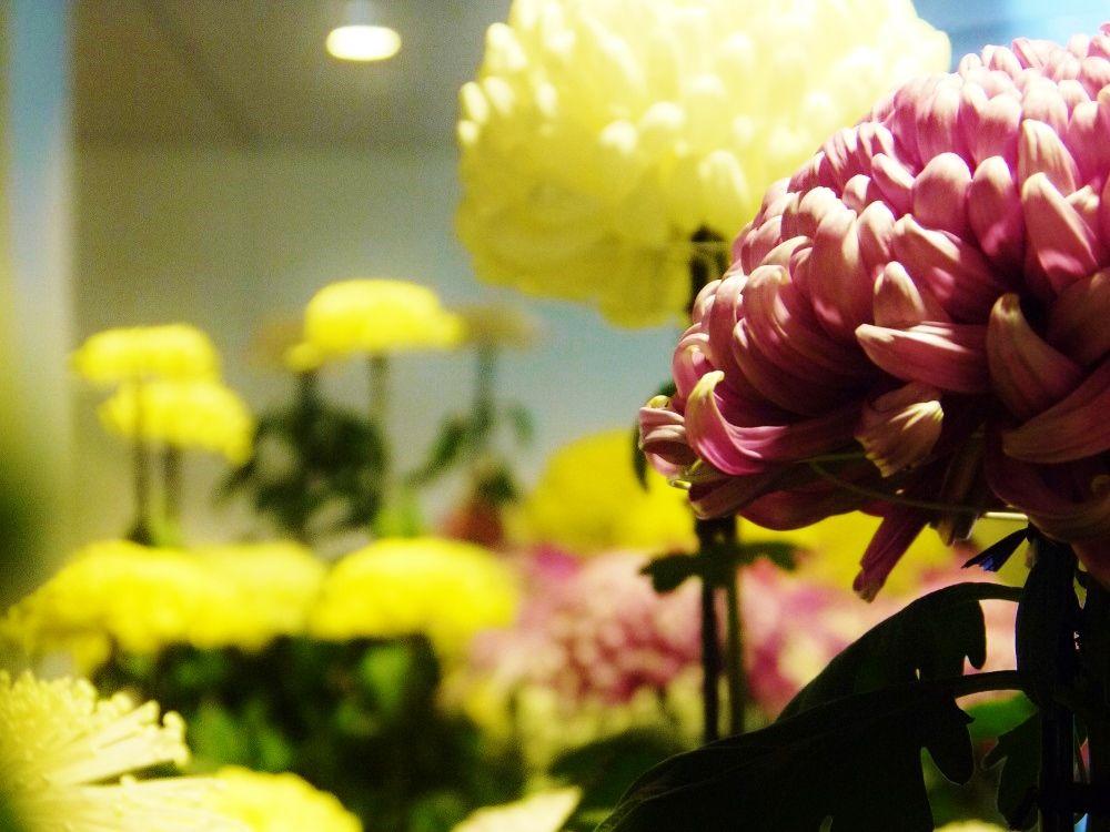 晩秋のチ・カ・ホ彩る美しき菊の花!「さっぽろ菊まつり」