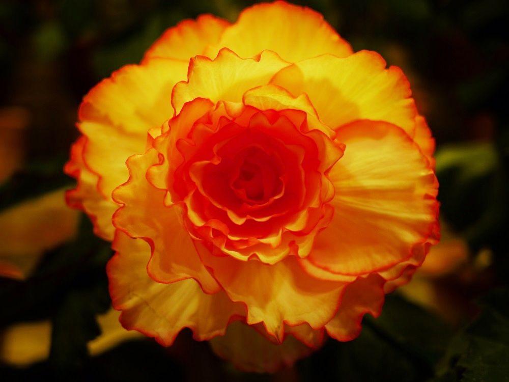 なばなの里「ベゴニアガーデン」のベゴニアはどんなお花?